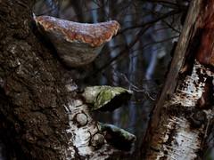 Bracket Funghi (melissaw92) Tags: trees forest mushrooms scotland funghi bracketfunghi