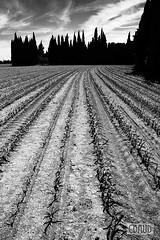 Round up (cbaud) Tags: pollution terre agriculture roundup tierra agricultura maïs pesticides herbicide terrenourricière