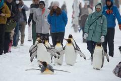 Penguin Walking  -  Asahiyama Zoological park (Daniel Shi) Tags: winter white snow cold ice girl japan train zoo cool nikon hokkaido daniel tokina 70200 1224 asahiyama d300 sonw asahikawa d3200 danielshi danielshi1130