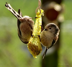Two cute Long-tailed Tits (joeke pieters) Tags: bird nature wildlife ngc vogel longtailedtit platinumheartaward mygearandme mygearandmepremium mygearandmebronze mygearandmesilver mygearandmegold staartmeesjes mygearandmeplatinum panasonicdmcfz150 1050136