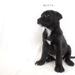 Elvis the 8 week old Black Labrador mix (Immature Animals) Tags: blackandwhite bw rescue baby white black cute animal puppy square labrador elvis marshall derek bark paws patch koalition derekmarshall barktucson