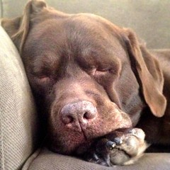 late-morning snooze (hugh.c.mcbride) Tags: camera dog square lab labrador nap chocolate chocolatelab guinness snooze iphone iphonography iphone4s