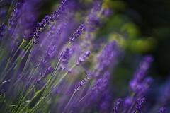 Lavendel (blichb) Tags: bayern deutschland garten inning 2016 fnfseenland meingarten inningamammersee blichb sonya7rii zeissbatis1885