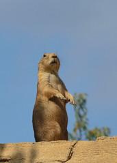 Op de uitkijk (Romanie de Groot) Tags: nikon d5200 drenthe dierentuin adventure zoo emmen wildlands holland outdoor animal prairiehond 24120mm f4