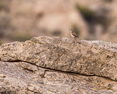 WREN, Rock (teddcenter) Tags: bird canyoncreekroad molt montana rockwren wren yellowstonecounty