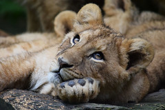 African lion cub @ Zoo de Beauval 10-05-2016 (Maxime de Boer) Tags: lawaya tswanga african lion lioness afrikaanse leeuw leeuwin panthera leo big cats katachtigen zoo parc de beauval saintaignan france animals dieren dierentuin