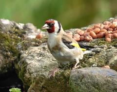 Goldfinch (Peanut1371) Tags: goldfinch finch bird red white brown yellow gardenbird nationalgeographicwildlife