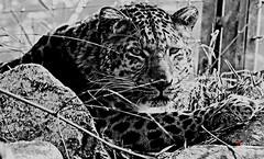 Chinese Leopard Julius (caren (Thanks for 1 Million+ views)) Tags: chinesischerleopardjulius bw pantherapardusjaponensis bigcats wildlife zoo nature magicmoments monochrome chineseleopard asia animal deutschland schwarzweiss