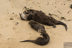 River Otter family playing (Corvus707) Tags: wildlife animals wildlifephotography california marin norcal northerncalifornia bayarea northbay pore pointreyes pointreyesnationalseashore findyourpark nps nationalpark nature outdoors ocean beach adventure travel hike mammals mammal river otter riverotter