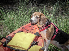 Come on, let's go! (Wade Brooks) Tags: beauty fallslake kayak may beagle dog water sandi