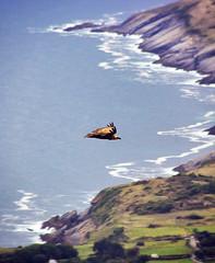 Bilbao. Espaa (Japo Garca) Tags: buitre costa acantilado volar playa azul plumas ingravidez fotografa japo garca vertical uno ave pjaro olas lejos distancia