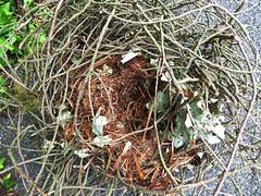 Squirrel Drey inside (Durley Beachbum) Tags: squirel drey nest lining august bournemouth fallen