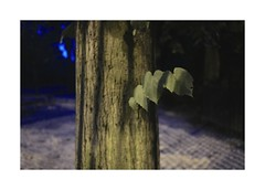 blur1 (lux fecit) Tags: paris blur tree trunk leaves luxembourg night