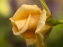 Winter Sunset bud (Shotaku) Tags: garden flowers flower macro closeup bud buds roses rose rosa gold yellow plants plant