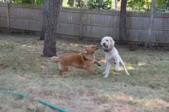 DSC_0264 (ghoulia) Tags: goldendoodle goldenretriever poodle labradoodle labrador rovercom dogvacay