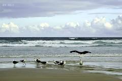 Board Meeting (Maria Luiza S) Tags: beach praia mar ocean sea birds blue clouds guaruja gaivotas seagulls waves ondas