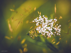 (N.H. || Photography) Tags: olympus omd em 10 m zuiko 60mm f28 macro makro closeup nature dof bokeh green white flower yellow field summer garden wildlife