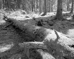 The end (p2-r2) Tags: nikon f3 f3hp fiby urskog forest trees nature reserve blackandwhite film agfa apx 100 new emulsion nikkor28mmf28ais trunk rotting light shadows
