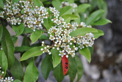 Photinia sp?, South of Lugu Lake June 2016 (Aidehua2013) Tags: rosaceae rosalaes unidentified unidentifiedplant plant flower bush shrub