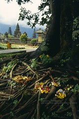 Bali, Bedugul Temple, offering (blauepics) Tags: indonesien indonesia indonesian indonesische bali island bedugul hindu religion temple tempel tower turm pagoda pagode plant pflanze flower blume nature natur opfergabe donation offering religious religis tree baum roots wurzeln 1991