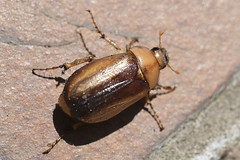 Hanneton - Chafer (A_Decostre) Tags: insecte insect coléoptère rhizotrogus beetle melolonthinae hanneton chafer