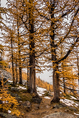 Larches (cec403) Tags: saddlebackpass lakelouise hike mountains larch banffnationalpark alberta canada canont4i