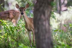 Peek-A-Boo (NBTXN) Tags: tamron150600 whitetaildeer texas nikon animal nature outdoor peekaboo selmaparkestates babydeer fawn cuteness deer spots
