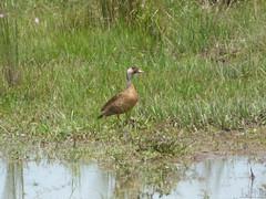 Amazonetta brasilensis  (Luis G. Restrepo) Tags: p2140120 ave bird casanare colombia southamerica eno2016 amazonettabrasilensis brazilianduck patobrasileo anatidae