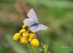 29-IMG_4561 (hemingwayfoto) Tags: august blhen blte blau blume insekt lebewesen schmetterling tier unbestimmt