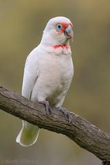 Long-billed Corella (wild bird) (Matt F.) Tags: bird longbilledcorella
