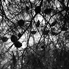 Day 251/366 (Olga Sotiriadou) Tags: day251 07sep16 3662016 366project 3662016edition square nature outdoor pine bw blackandwhite branches