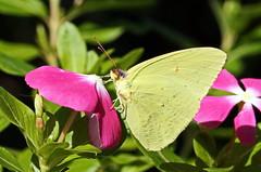 Cloudless Sulphur (Jim Atkins Sr) Tags: cloudlesssulphur cloudlesssulpherbutterfly phoebissennae butterfly flower vinca sony sonya58 fairfieldharbour northcarolina nc