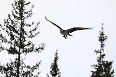 banff sept '16 (vipermikey) Tags: banff banffnationalpark alberta canada osprey bird castlemountain nature rockies rockymountains canadianrockies mountains