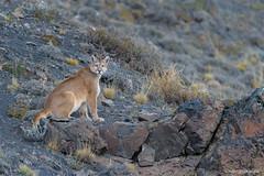 _NGR1170Puma (ninograngetto@hotmail.com) Tags: puma chile patagonia torresdelpaine nikon d4s