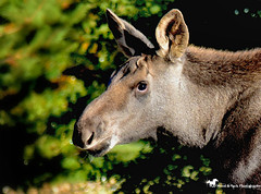 YOU'VE GOT THE CUTEST LITTLE BABY FACE ... (Aspenbreeze) Tags: moose youngmoose babymoose calvemoose moosecalf wildanimal wildmoose wildlife wild coloradowildlife rural nature country mountains bevzuerlein aspenbreeze moonandbackphotography
