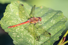 0J9A9074 (wearedave) Tags: brandonmarsh dragonfly