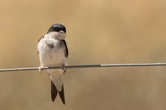 Housemartin (ToriAndrewsPhotography) Tags: housemartin wire bokeh suffolk summer bird photography andrews tori
