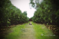 in the green orchard (ggcphoto) Tags: green orchard apples rabbit