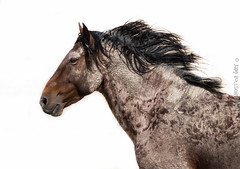 brown horse (cuddleupcrafts) Tags: onaqui wild horse herd west desert utah wildlife