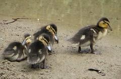 Duck Family (jackiebishop2005) Tags: ducks duclings clyne garden swansea south wales