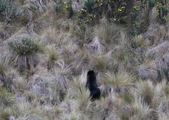 Spectacled (Andean Bear) climbing up hillside (Paul Cottis) Tags: spectacled bear andean shortfaced mammal papallacta paulcottis 9 august 2016 moor