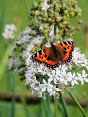 Small Tortoiseshell Butterfly (robin denton) Tags: castlehoward nature autumn butterflies butterfly lepidoptera insect wildlife