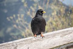 Alpine Chough (SKAC32) Tags: kehlsteinhaus eaglesnest alpinechough germany bird feathers scavenger berchtesgaden
