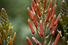 Aloe (larryn2009) Tags: california orange plants aloe sandiego unitedstatesofamerica september 2012 sandiegocounty aloesuccotrina sandiegosafaripark