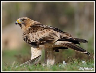 Aguila calzada (Hiraeetus pennata) fase clara, despues de un seguimiento a esta magnifica rapaz, hoy me ha posado como una gran modelo, esta es una de una gran serie que pondre mas adelante, saludos a todos