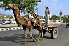 Jaipur - India (Joao Eduardo Figueiredo) Tags: travel pink india hot nikon asia camel jaipur rajasthan pinkcity nikond3x