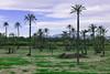 Palmerar de L'Alcúdia (marathoniano) Tags: parque art landscape arte paisaje villa parc païsoscatalans elx elche palmeres paísvalencià patrimoni palmeral lalcúdia marathoniano humanitat paisatje palmerar ramónsobrinotorrens iliciaugusta