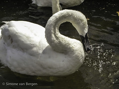 """Swan playing with water • <a style=""""font-size:0.8em;"""" href=""""http://www.flickr.com/photos/44019124@N04/8174961528/"""" target=""""_blank"""">View on Flickr</a>"""
