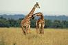Giraffes in Love (kigwa) Tags: africa nikon kenya wildlife safari giraffe masaimara d300 kigwa