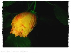 blending hibiscus nightshot nokia lumia smartphone celly... (Photo: eagle1effi on Flickr)